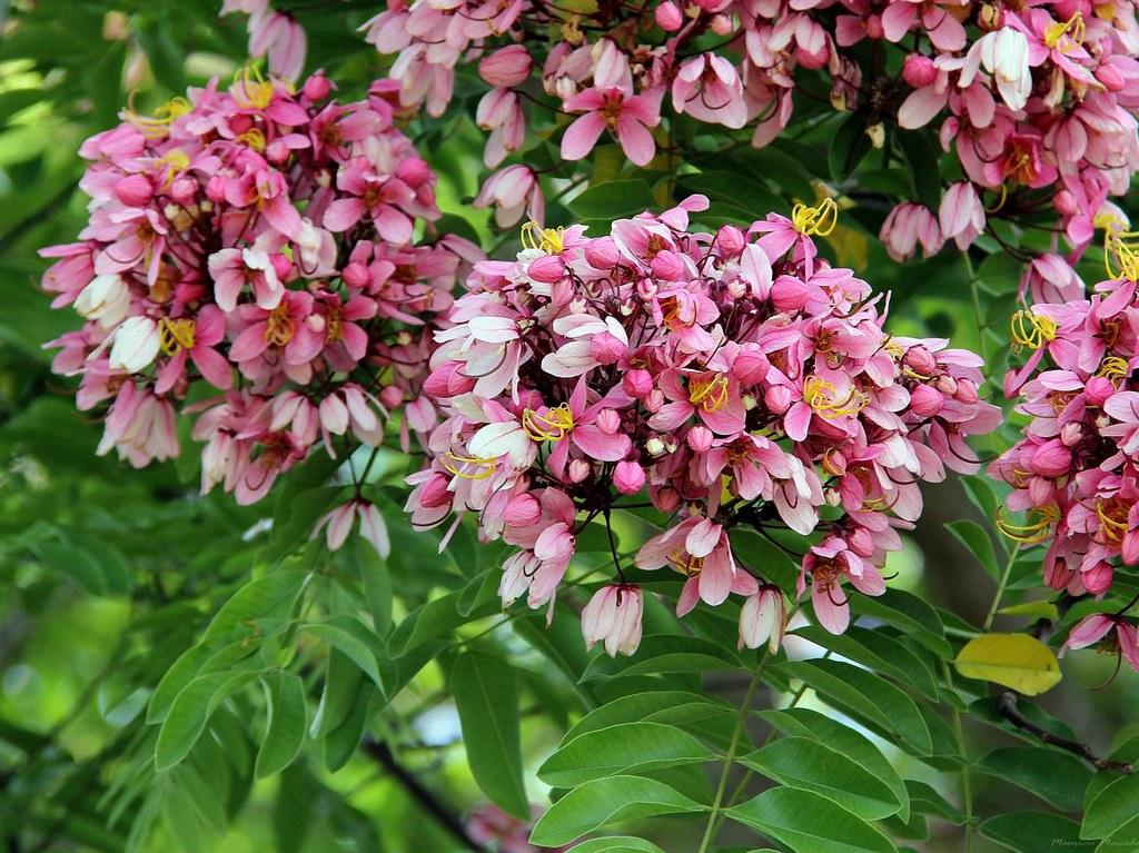 Cassia nodosa Cassia javanica subsp nodosa  Cassia