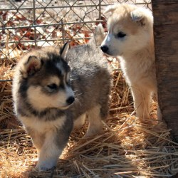 puppy wolf puppies dog cute dogs pups husky wolves 1585 baby flickr picnik pup tiger wild animals cutest shepherd pets