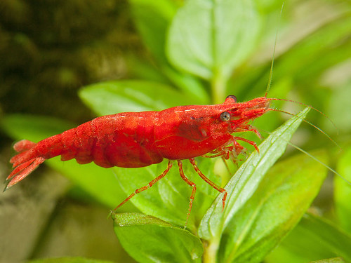 cherry shrimp (2)