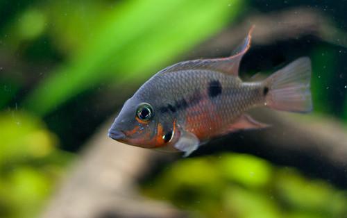 Thorichthys meeki (Firemouth cichlid)