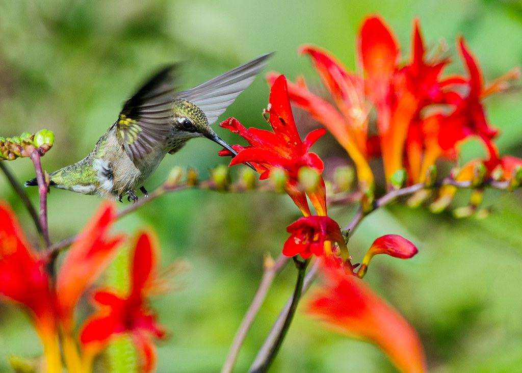 Hummer at Crocosmia