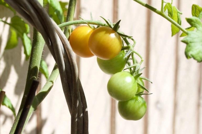 Solmogna tomater på balkong - reaktionista.se