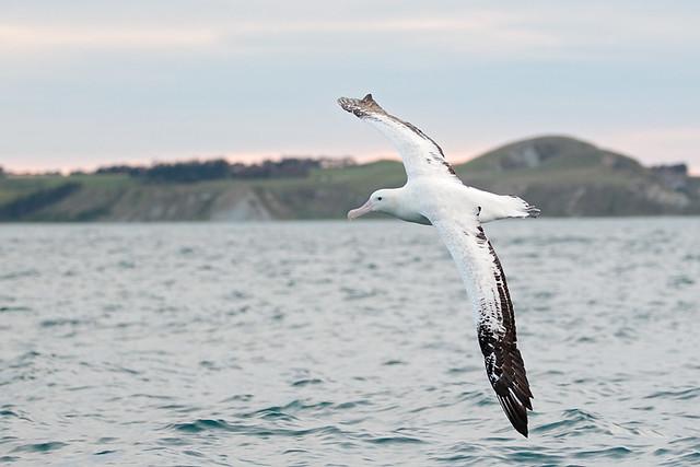 Wandering Albatross - New Zealand