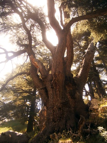 Big Tree at Cedars of God
