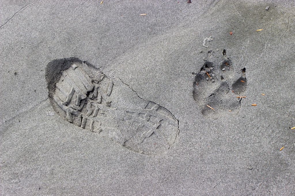 wolf print in sand