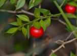 Image result for (Ruscus aculeatus
