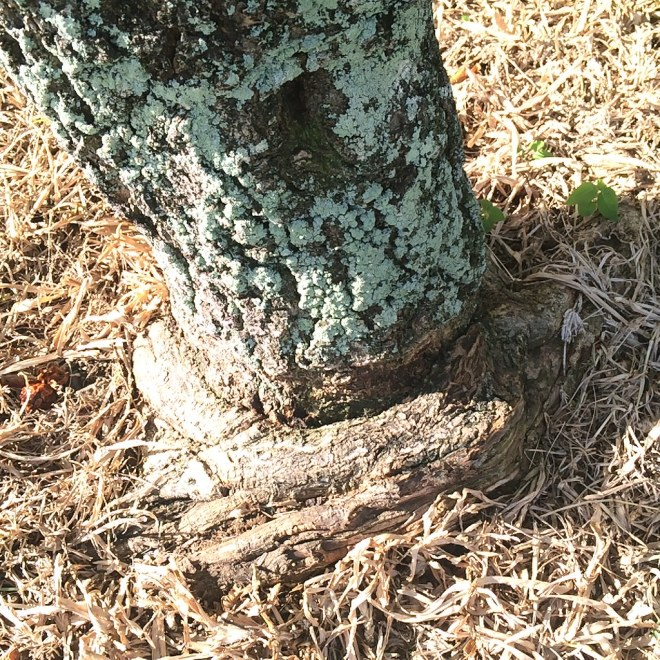 Image result for tree girdling roots