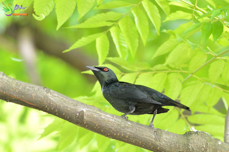 Alder's Bird-watching Notes: 亞洲輝椋鳥.Asian Glossy Starling@Da-an Park.2016/05/03