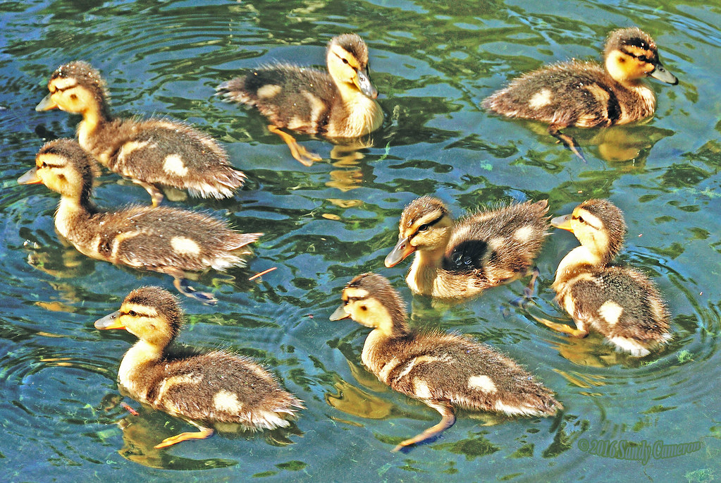 Mallard Ducklings 16-0604-0307