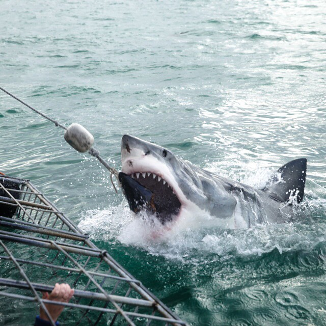 Great white shark spotted in #janbaai - Boat Tours Shark Encounters