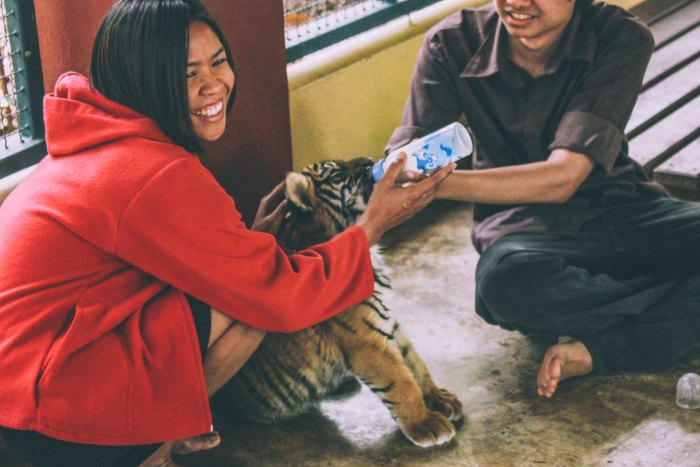 Playing With Baby Tigers in Chiang Mai - The Tiger Kingdom