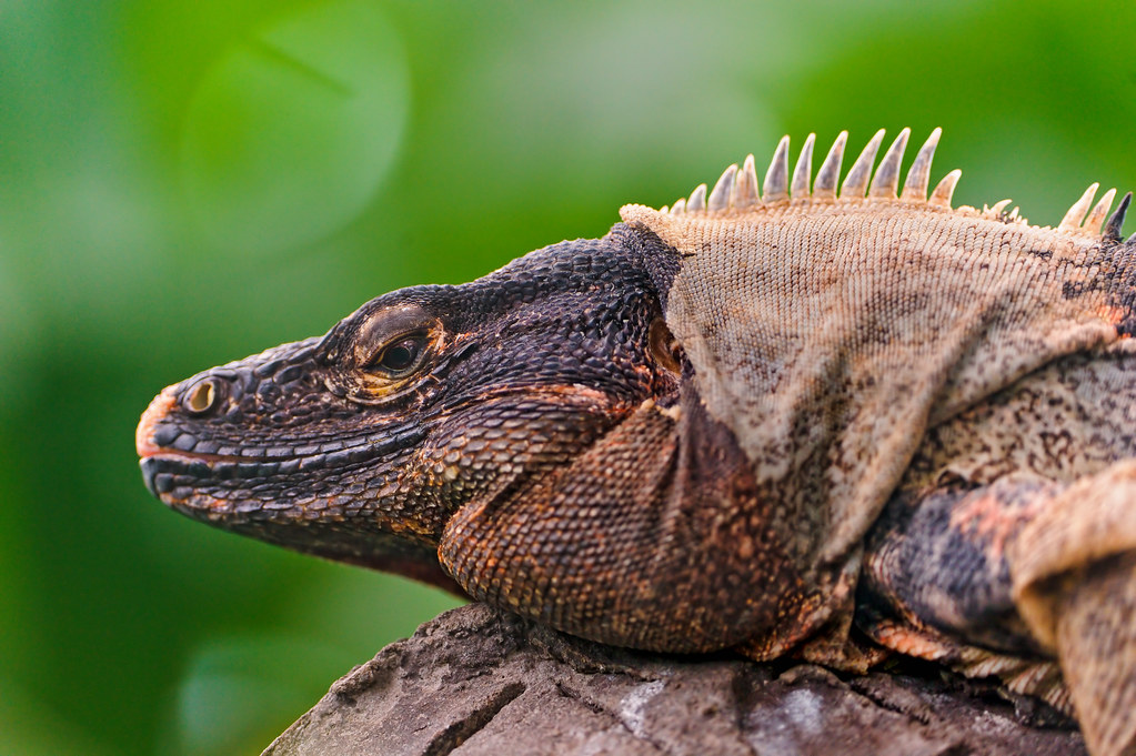 Nice 3d Wallpaper Big Brown Iguana This Big Iguana Was Quite High In The
