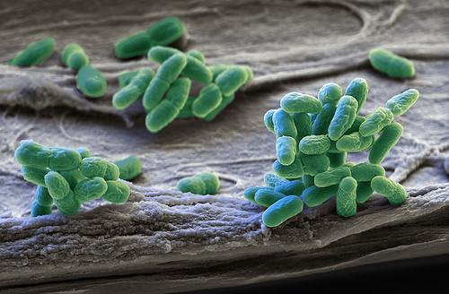 bluegreen algae of genus Synechocystis  Microorganisms