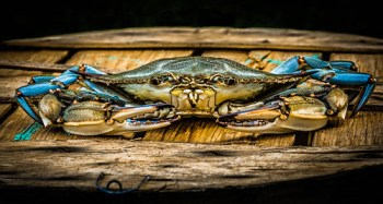 Photo of a blue crab