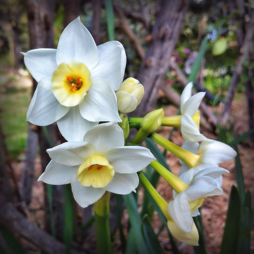 White Jonquil Flowers Narcissus species  20120725  Flickr