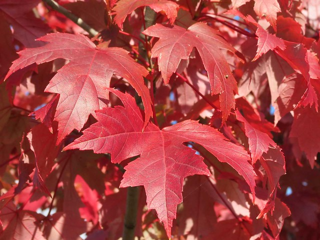 Fall Leaf Wallpaper For Mobile Red Maple Tree Leaves Maple Tree With Vibrant Red Leaves