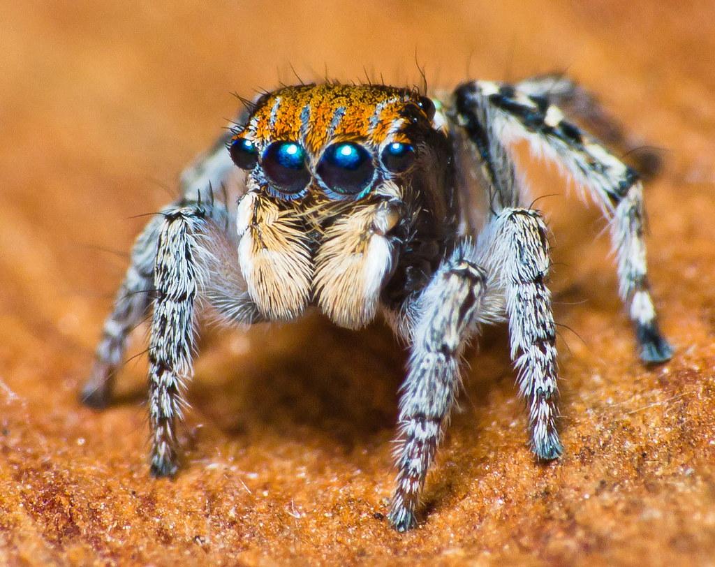 Salticidae Maratus sp  Salticidae Maratus sp near