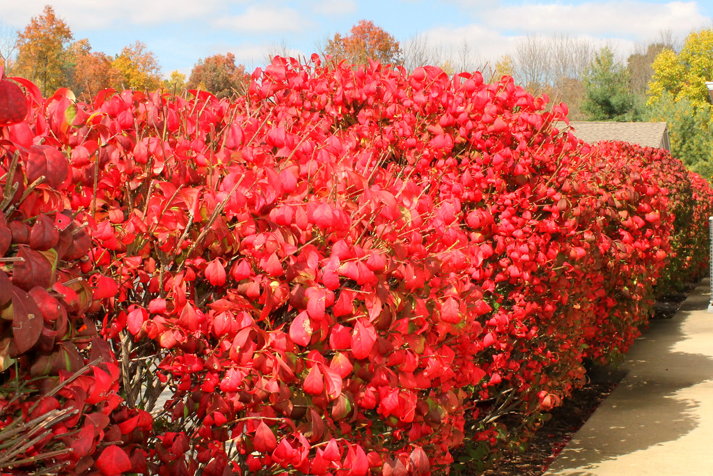 Autumn Hedge Light My Firebush  Now I know how this