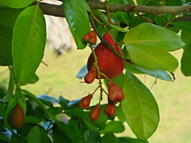 exotic fruit, ackee in jamaica, caribbean cliches