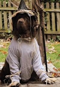 Newfoundland Dog Dressed Like Scarecrow | Flickr - Photo ...