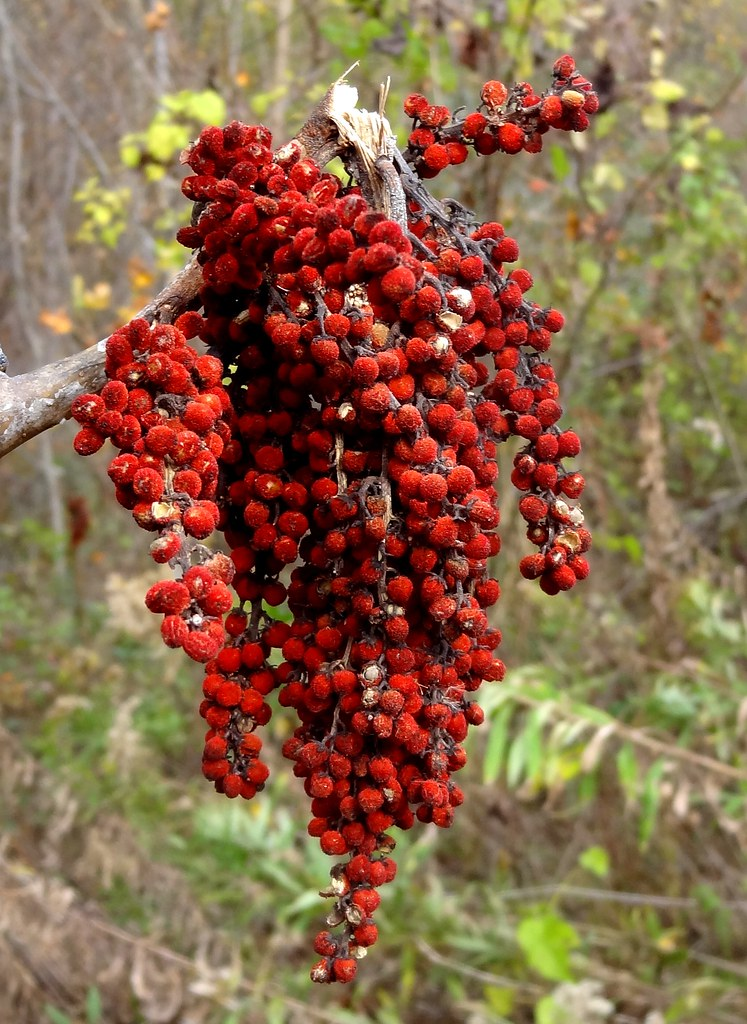 Free Mobile Fall Wallpapers Sumac Fruit Nc These Plants Rhus Grow Freely In