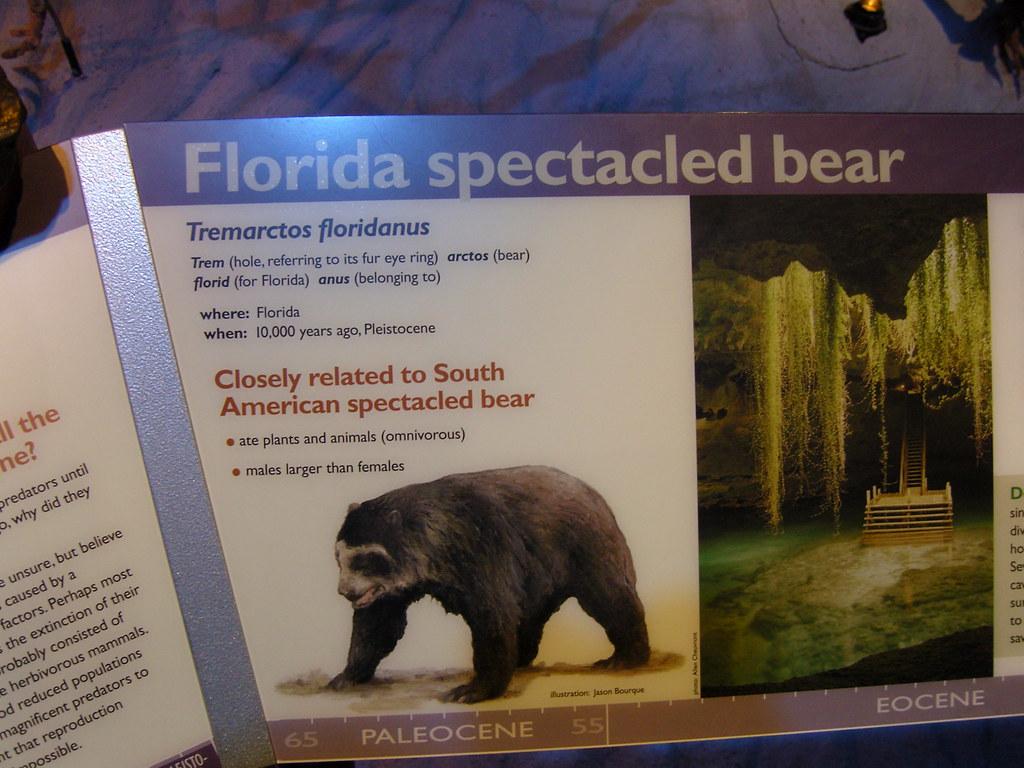 Florida Spectacled Bear  Tremarctos floridanus of
