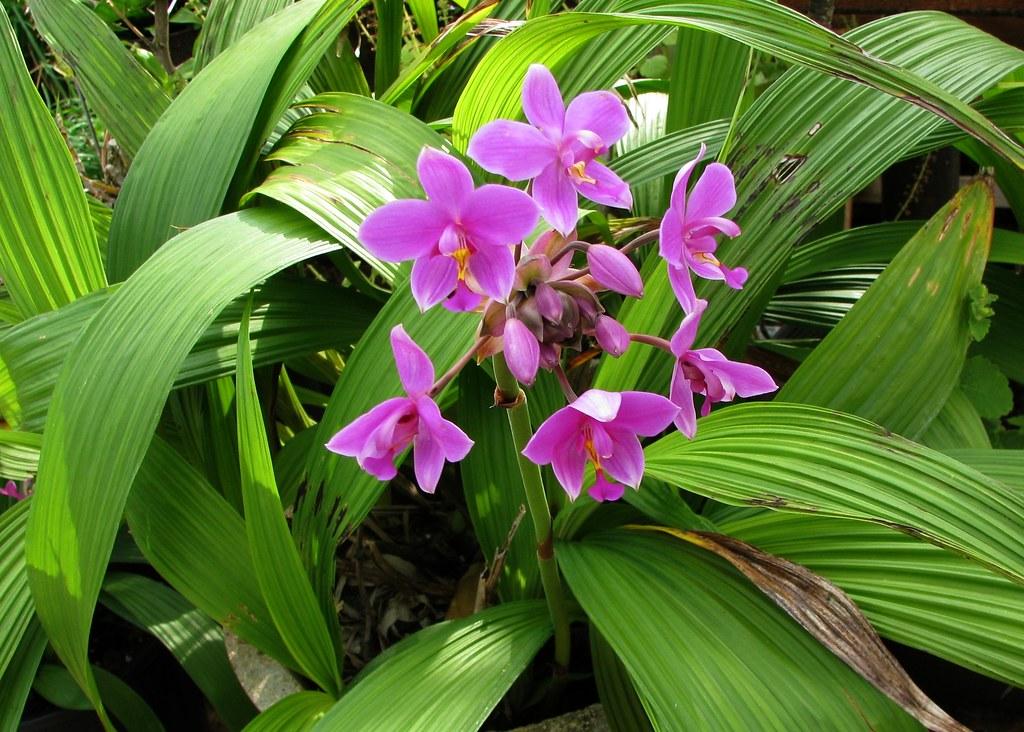 Spathoglottis plicata  Philippine Ground Orchid