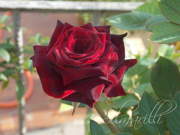 Rosa Prncipe Negro   Flores no jardim   Flickr