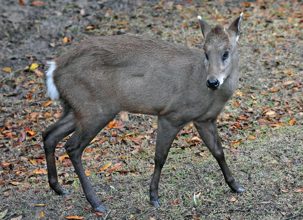 Tufted Deer Elaphodus Cephalophus The Tufted Deer