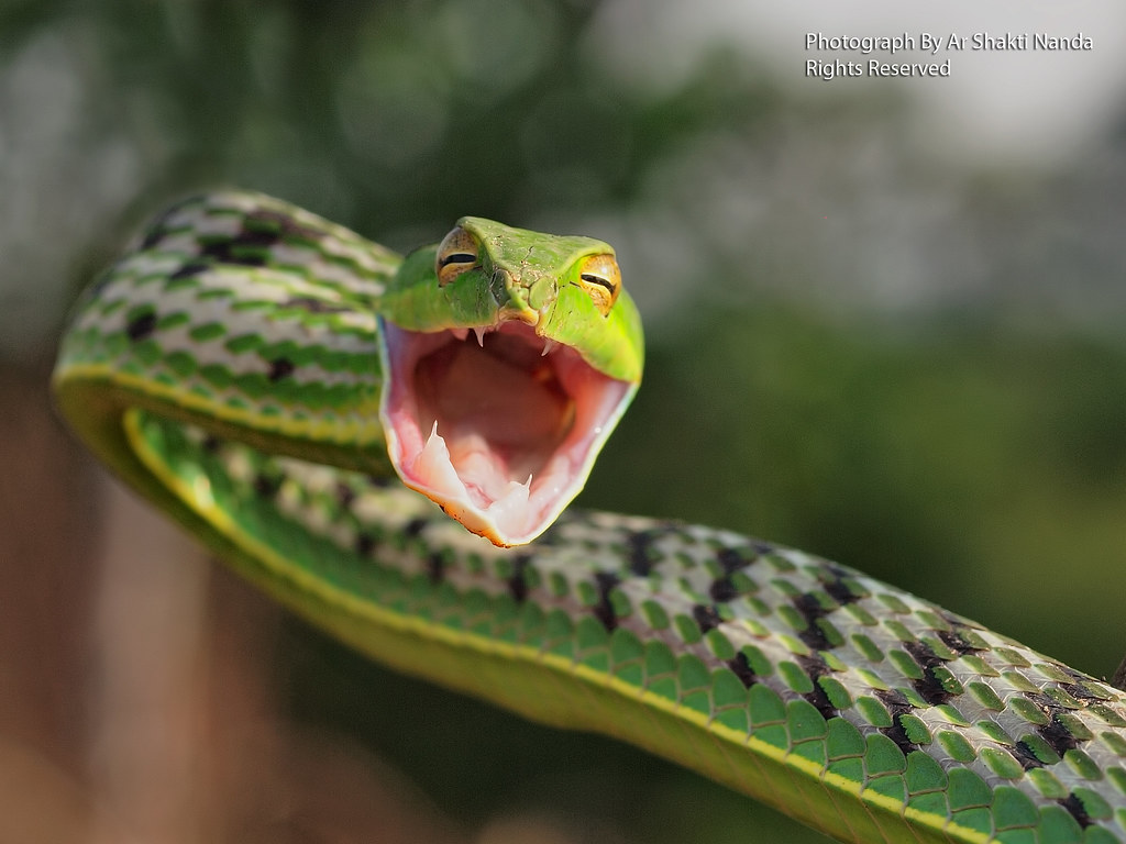 Green vine snake Ahaetulla nasuta  Bhubaneswar 24  12