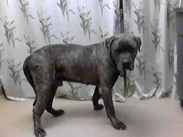 8429824121 72e4ab00ba z Pitbull Mixed With Wiener Dog