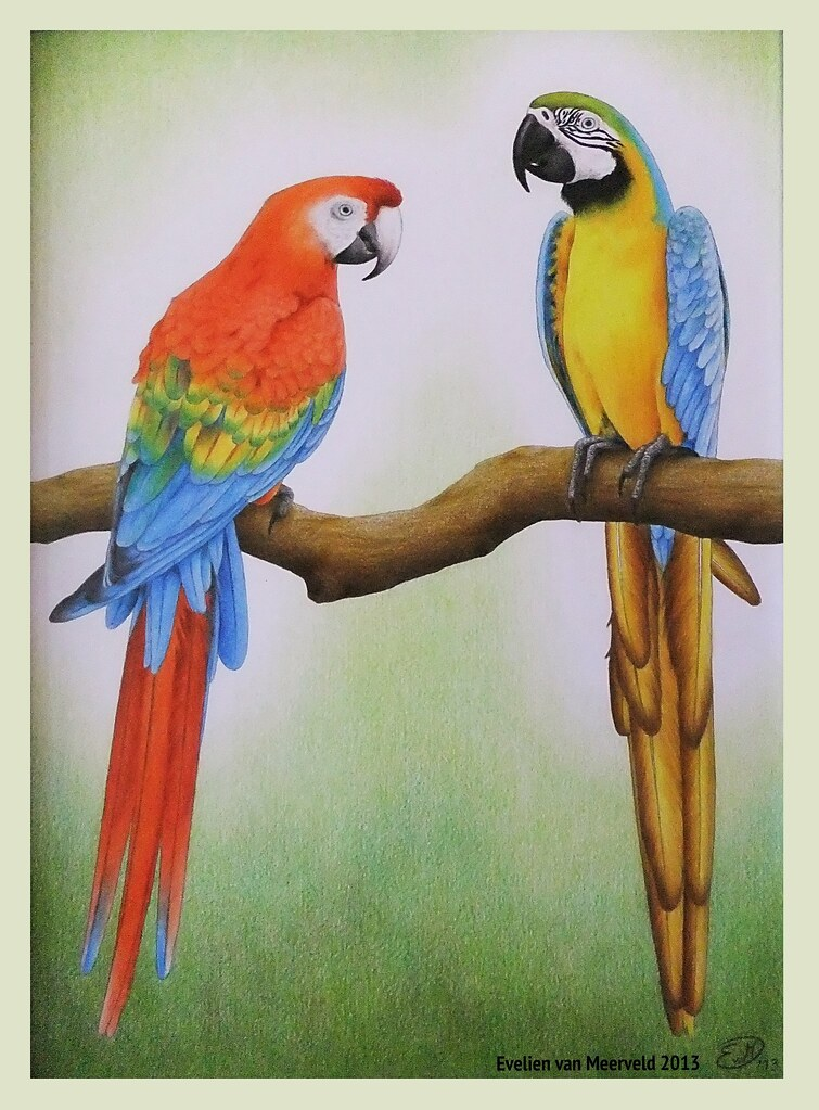 Parrot Colour Pencil Drawing Wwwpixsharkcom Images
