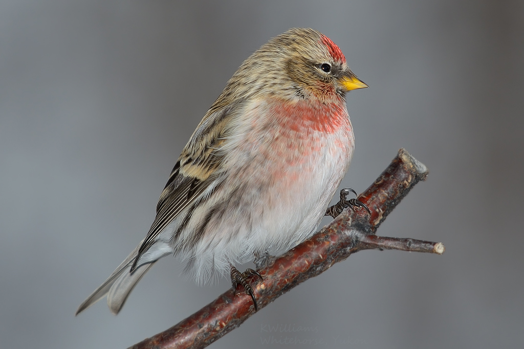 Out On A Limb, Common Redpoll Adult Male  Best Viewed