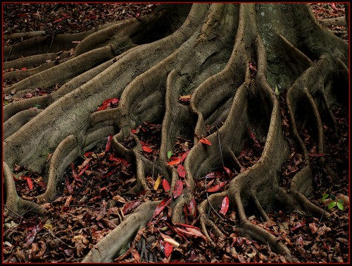Foto Wallpaper 3d Buttress Roots It Looks Like Autumn Red Leaves Fell To