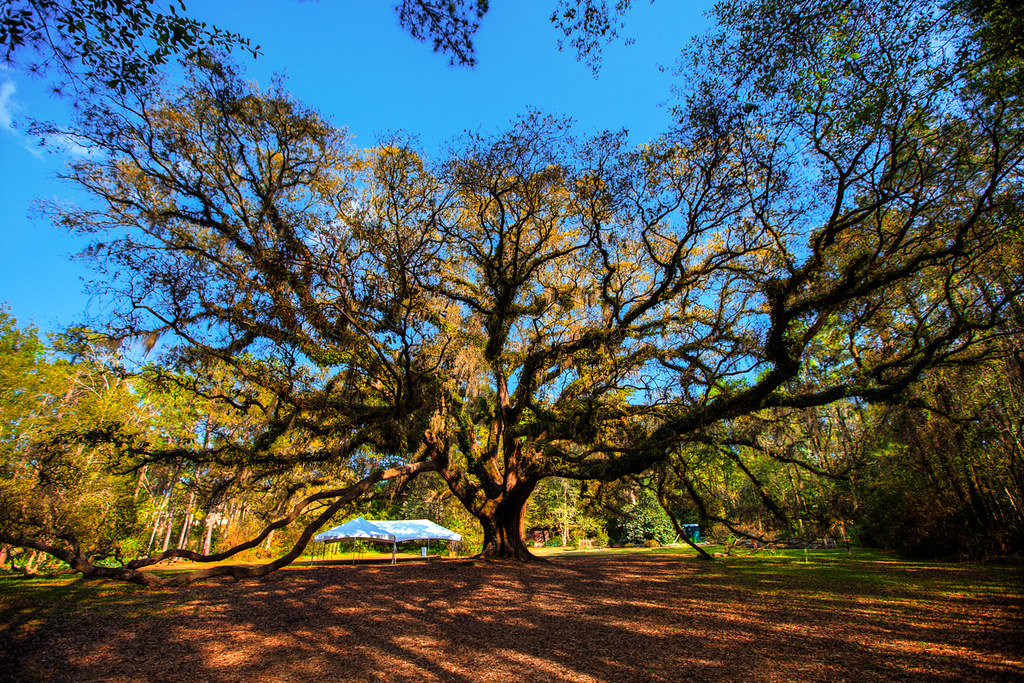 Giant oak tree at Lichgate Tallahassee  Annnnnd here is
