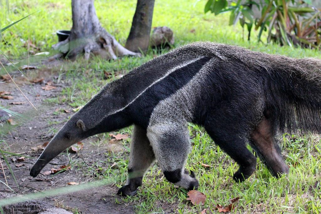 Giant Anteater Myrmecophaga Tridactyla Region South