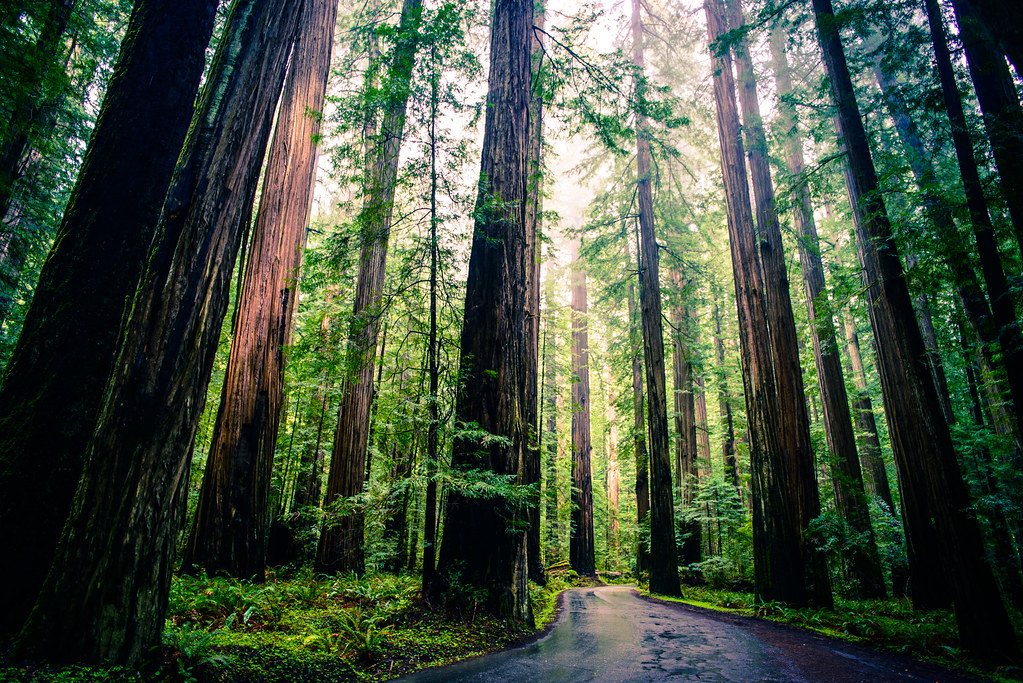 John Muir Quotes Wallpaper Redwoods Taken With A Nikon D800 And A Voigtlander 20mm