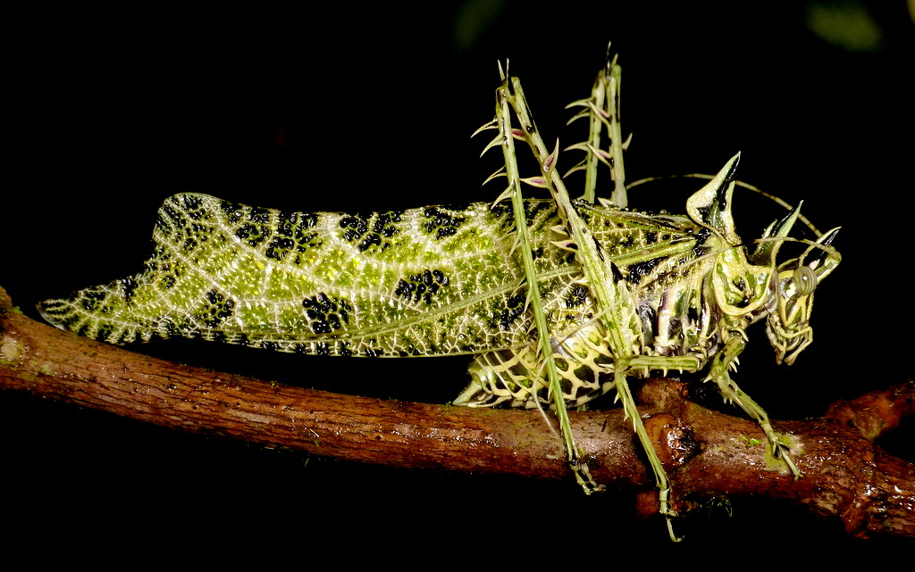Lichen Katydid Markia hystrix  another lichen imitating