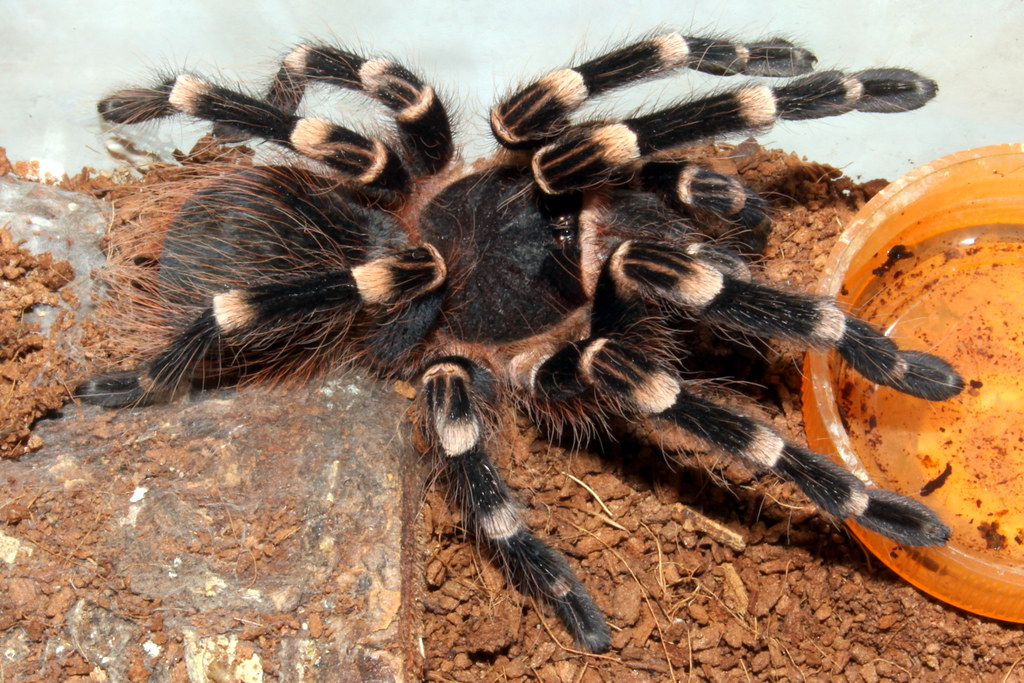 Tarantula Brazilian White Banded  Acanthoscurria brockle  Flickr