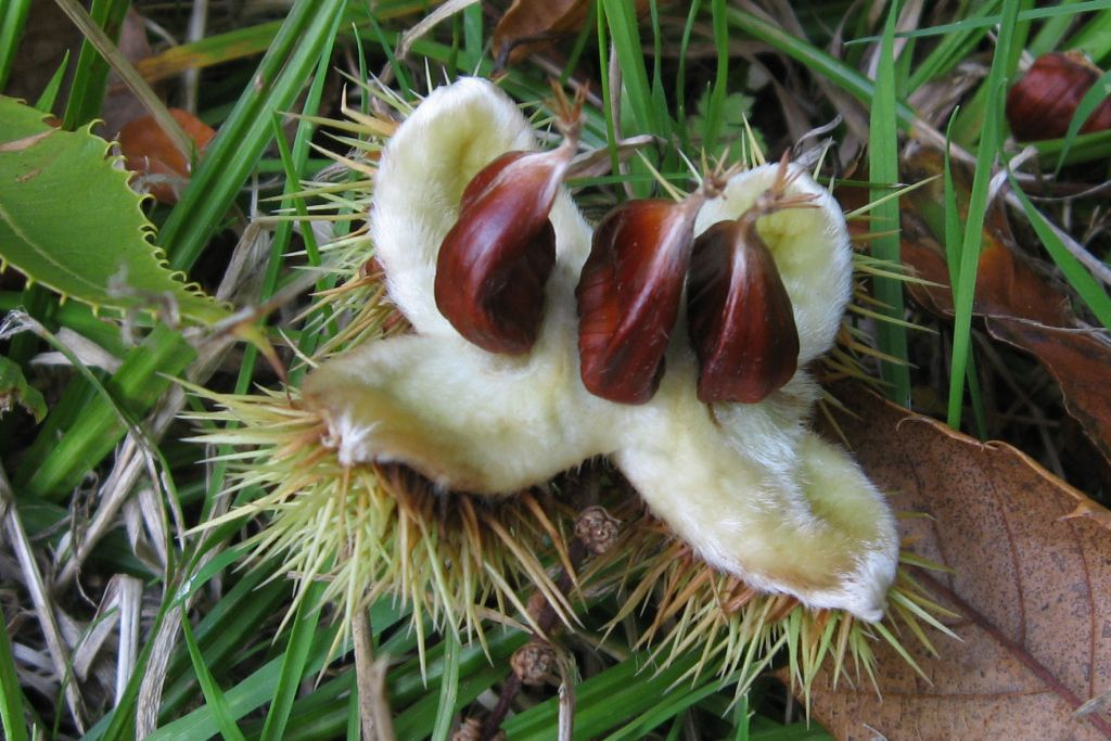 Beech Nuts  A particularly fine example of the fruit of