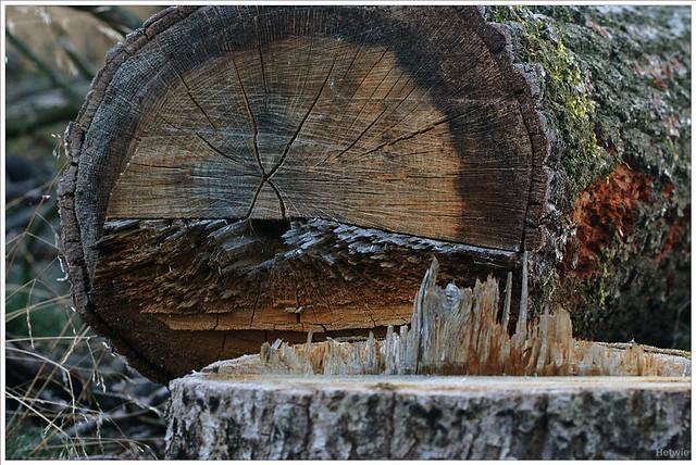 gevelde boom
