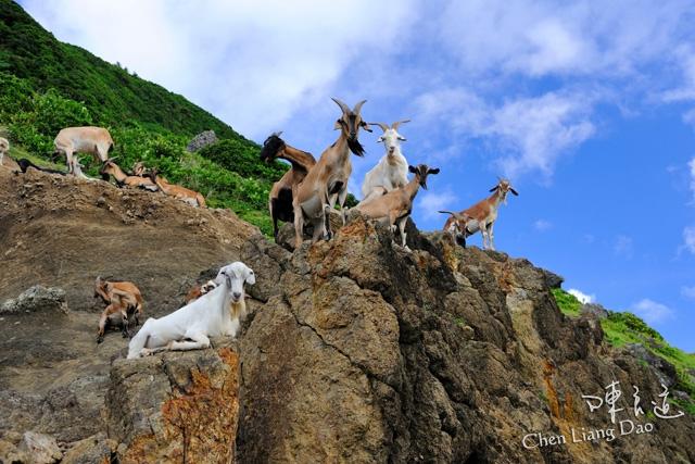 DAO-43689 | 臺灣景點-臺東縣 蘭嶼鄉 蘭嶼海岸 羊群 山羊 | Chen Liang Dao 陳良道 | Flickr