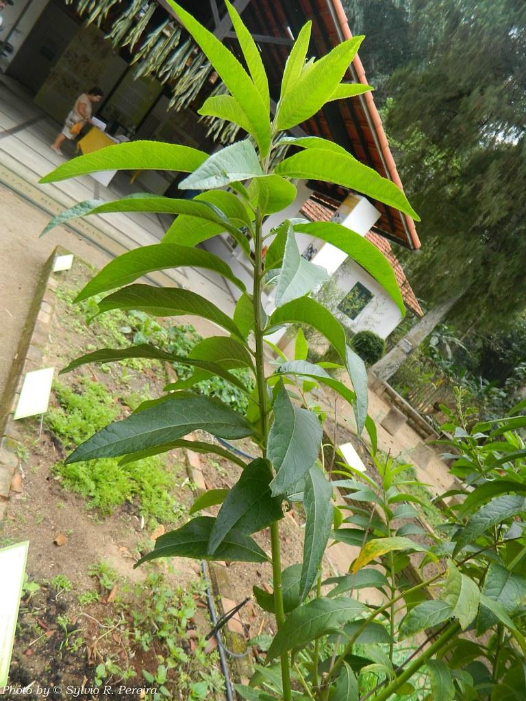 Assapeixe  Assapeixe Vernonia polyanthes Less Planta me  Flickr