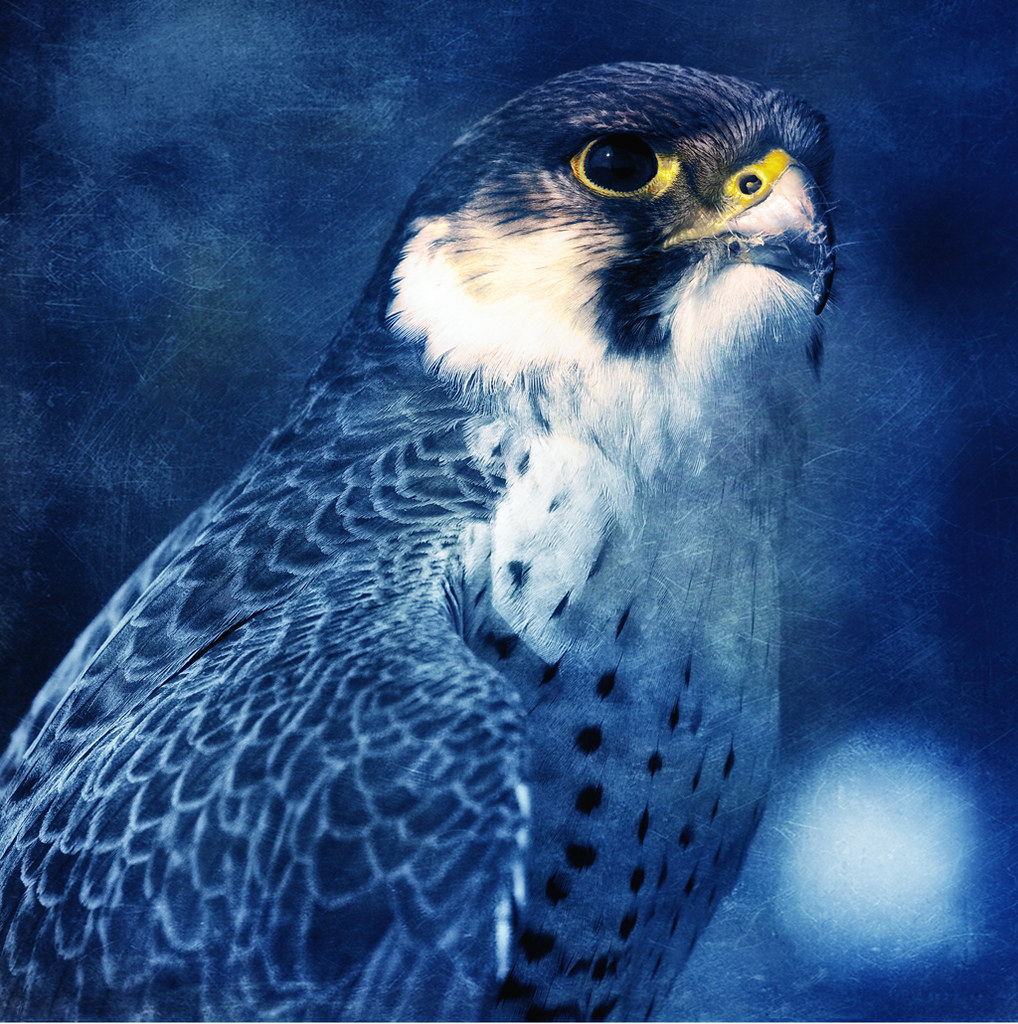 The Blue Falcon  The Peregrine is renowned for its speed r  Flickr