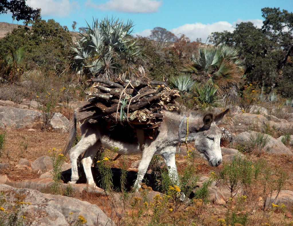 Burro cargando lea  Burro carrying firewood with palms b