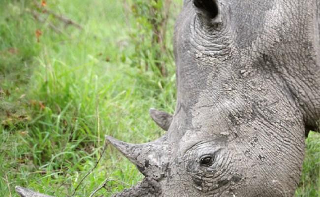 Rhino Profile A Rhino In South Africa David Lazar Flickr