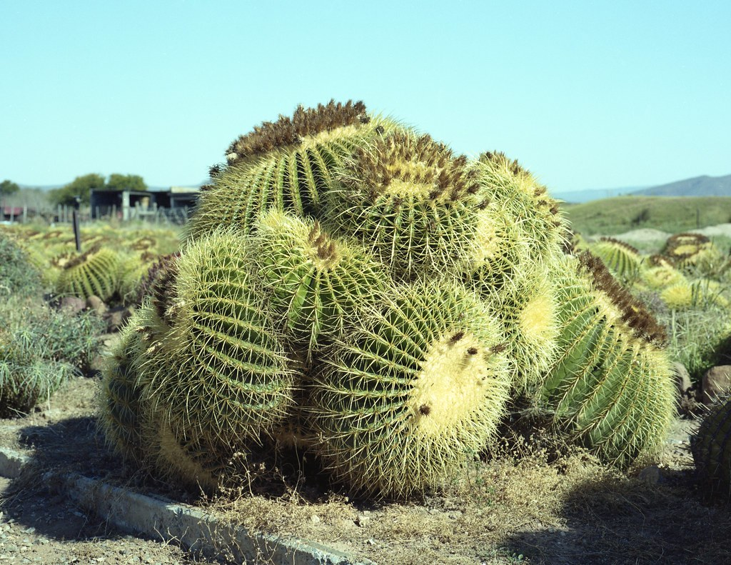 Cactus South Africa  Motherinlawchair
