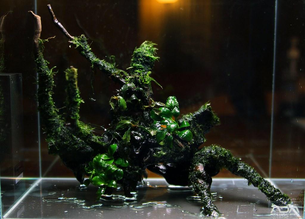 Mini S v1 nano aquascape stage one  With moss anubias