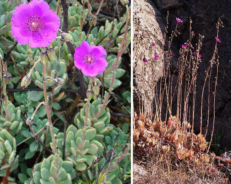 Cistanthe grandiflora  A succulent form of Pata de