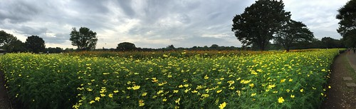 Cosmos Panorama at Showa Memorial Park, Tokyo, Japan